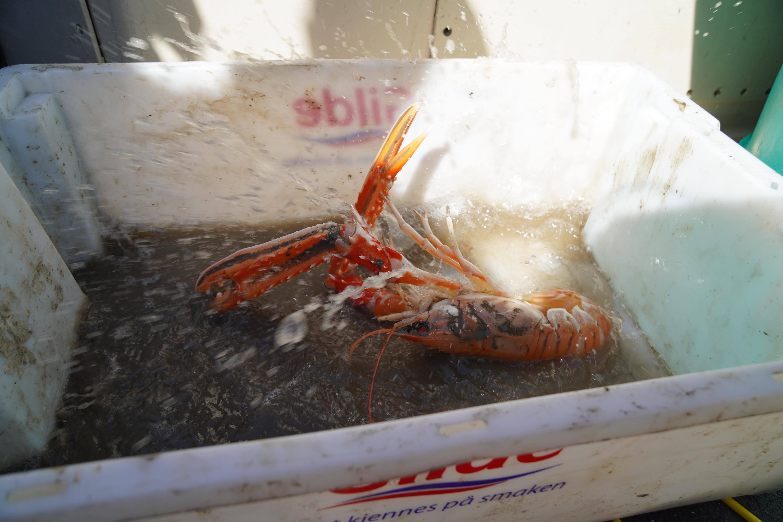 Kreps eller hummer, liggende i en fiskebalje